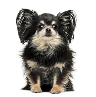 Long hair chihuahua sitting looking at the camera isolated on white