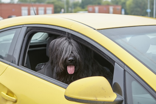 Long haired black briard dog is sitting inside car.