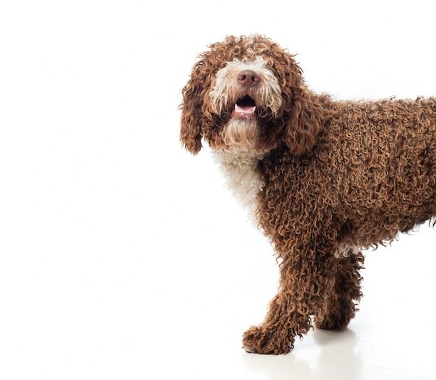 긴 머리 갈색 개가 열린 입으로 걷기