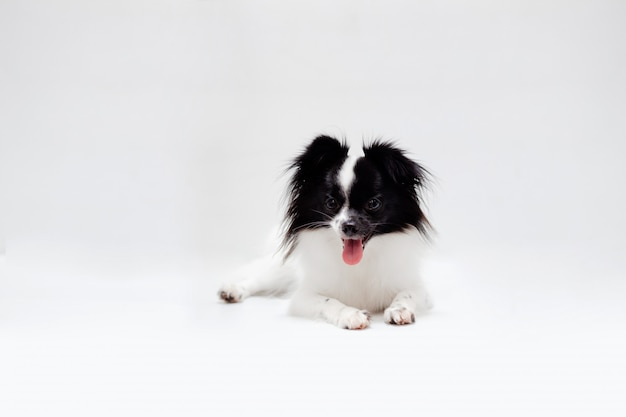 Long haired chihuahua puppy on a white background