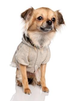 Длинношерстный чихуахуа с 2 лет. портрет собаки изолированный