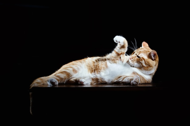 Long-haired orange ginger cat lying down on isolated black surface, imperious gesture