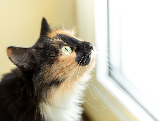 Long-haired three-color orange-black-and-white cat closely looking out the window. favorite pets. side view, close up. selective focus.