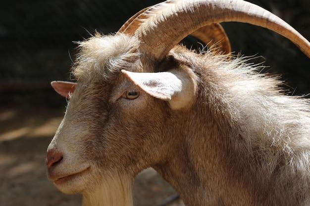 Long horn goat