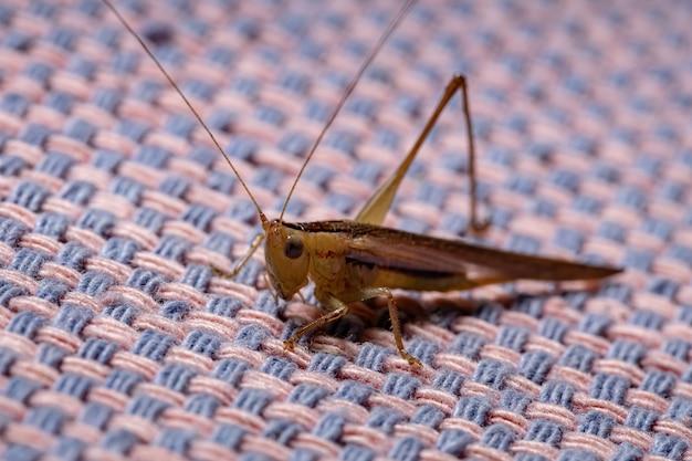 Long-horned meadow katydid of the species conocephalus saltator
