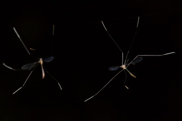 Long legged insect on black backdrop