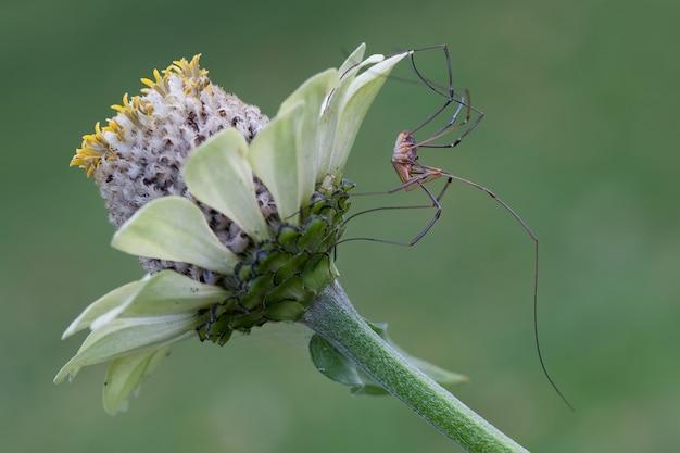 Длинноногий паук на цветке эхинацеи на зеленом фоне.