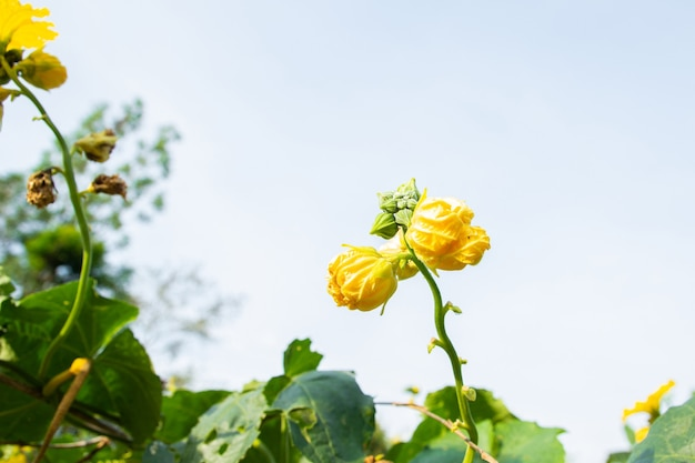Long luffa sponge gourd flower bud and leaves on tree in farm (luffa cylindrica gourd).