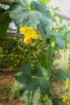 Long luffa sponge gourd flower and leaves on tree in farm (luffa cylindrica gourd). yellow flower on tree.