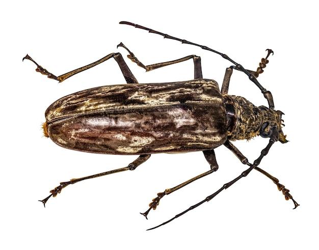 Long massage beetle isolated on white background, macro.