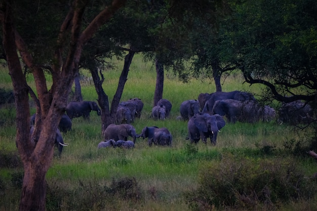 Long range shot of elephants walking in a grassy field near trees