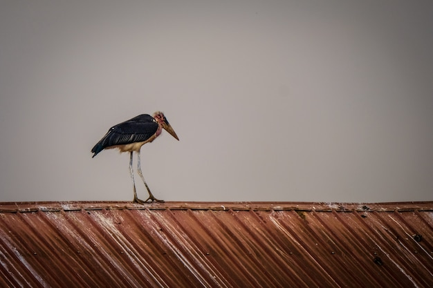 Long range shot of a marabou stork standing on a roof with a grey sky in the background