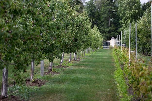 Длинный ряд яблонь, готовых к уборке
