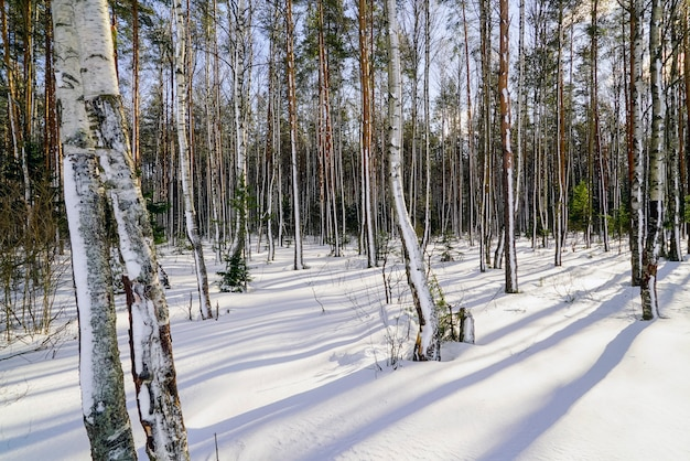 Long shadows in the winter forest with snow-covered trees on a bright sunny day