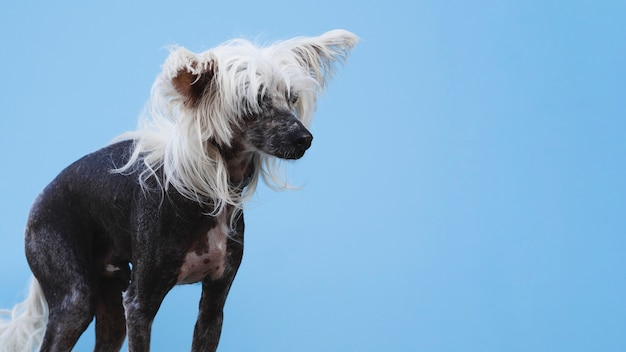 Long shot of chinese crested dog with blue background