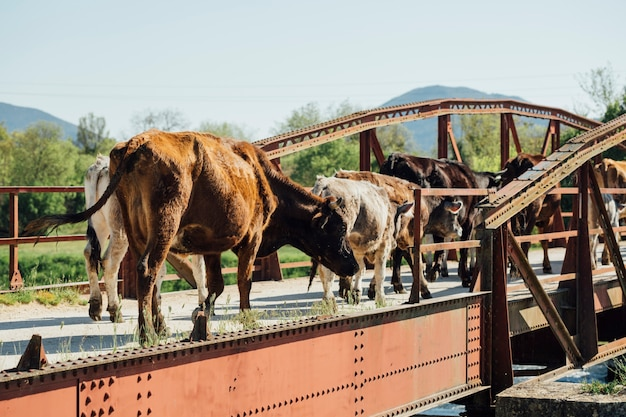Long shot cows walking on old metal bridge