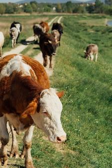未舗装の道路の上を歩くロングショット牛 Premium写真