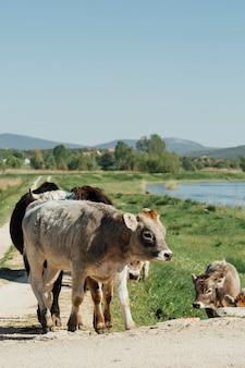 未舗装の道路の上を歩くロングショット牛