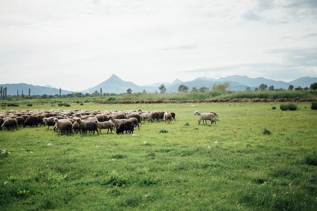 牧草地で草を食べる羊のロングショットの群れ