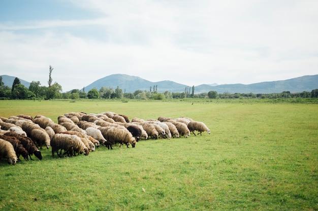 Long shot herd of sheep eating grass on pasture