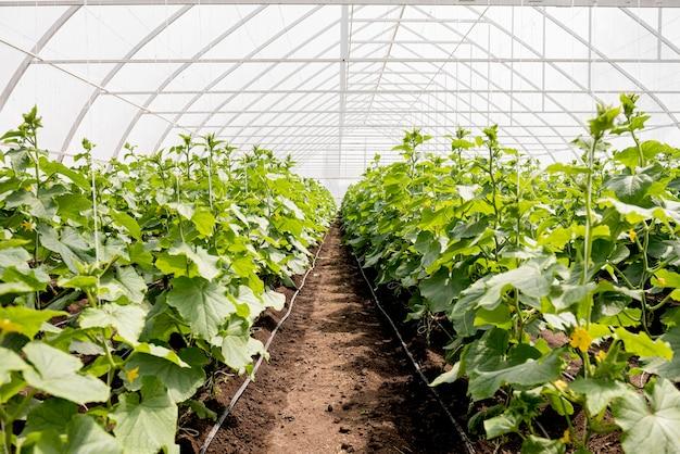 温室植物の行のロングショット