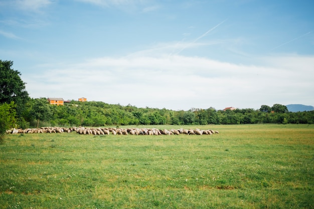 Long shot of sheep herd eating grass on pasture