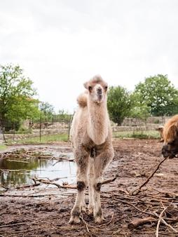 Long shot of white llama