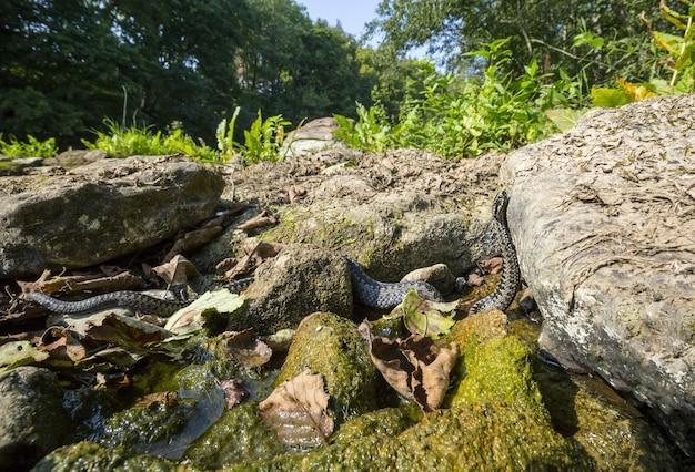 Длинная змея ползет по скале у воды