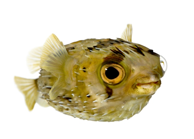 長い棘のヤマアラシはまたとげのあるふぐ(魚)-分離された白のdiodon holocanthus
