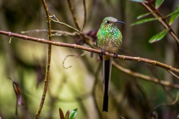 Long tail humming bird