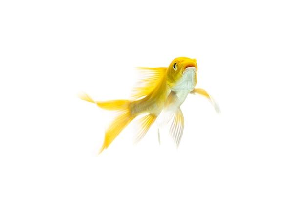 白い背景の上で泳ぐロングテール鯉