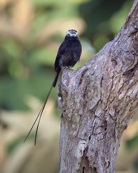 긴 꼬리 새는 죽은 나무에 자리 잡고