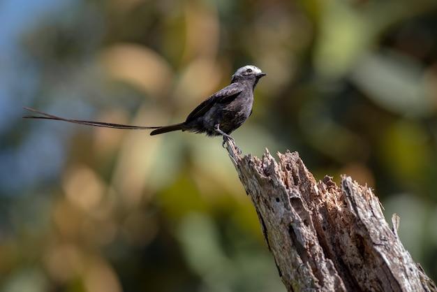 Длиннохвостая птица сидит на бревне с вытянутым хвостом