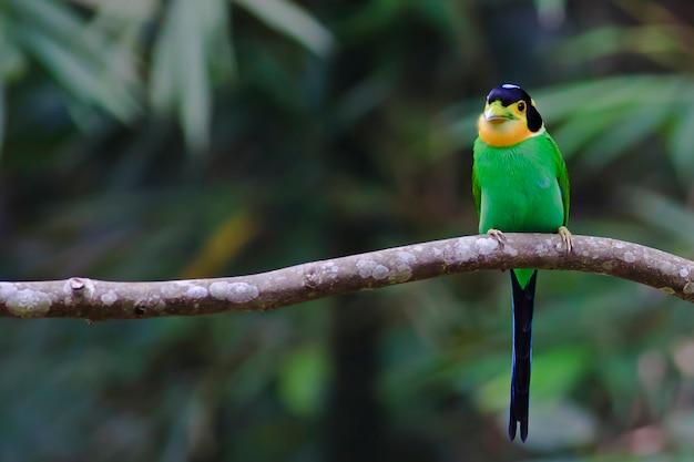 ロングテールの広葉樹(psarisomus dalhousiae)、タイの鳥類