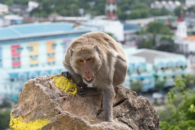 Long-tailed macaque, crab-eating macaque