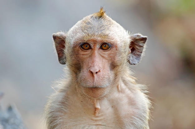 Long-tailed macaque macaca fascicularis monkey looking forward