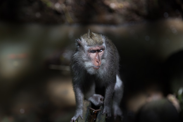 Long-tailed monkey sit on concrete wall at the sacred monkey forest in bali, ubud