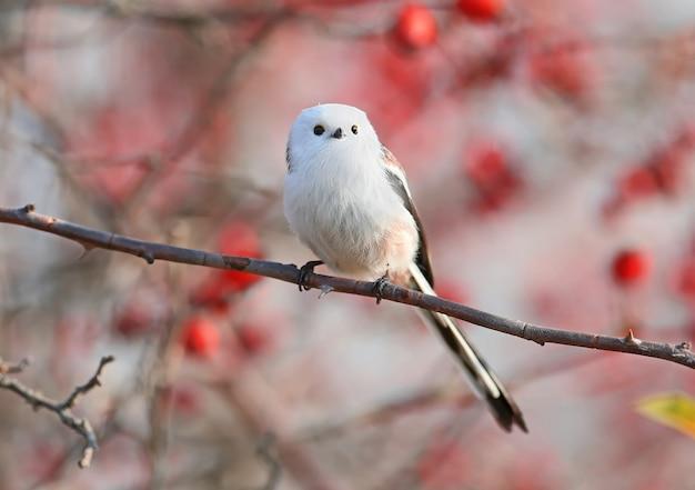 긴 꼬리 가슴 또는 긴 꼬리 부시 (aegithalos caudatus)는 붉은 열매와 하늘에 대해 야생 장미 덤불의 가지에 앉아 있습니다.