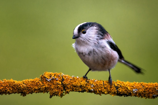 Long-tailed tit sitting on a branch on a beautiful background