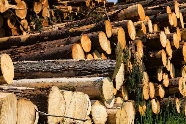 Long trunks of natural pine wood during logging woodworking in production, in forest