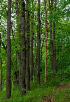 Длинные стволы дубов в летнем лесу