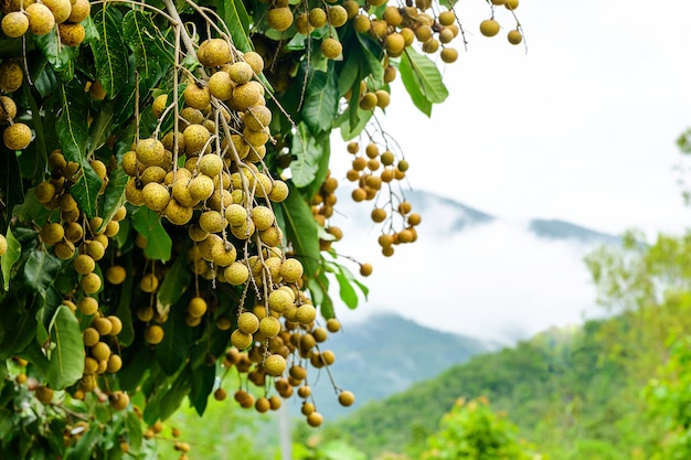 Longan orchards - tropical fruits young longan in thailand on the high mountains has beautiful mist