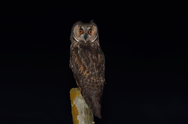 Longeared owl at its favorite perch first thing in the evening before heading out to hunt