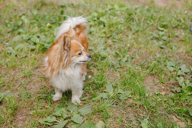 Longhair chihuahua dog in green summer grass.small funny hairy chihuahua is standing in the garden.brown puppy standing outside.copy space