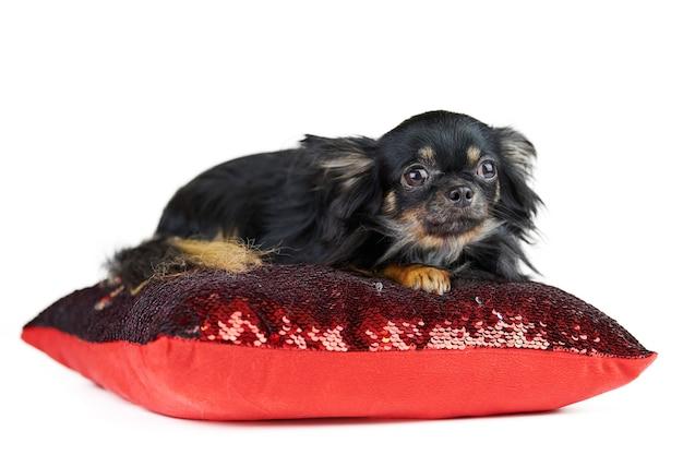 빨간 베개, 흰색 격리 된 배경에 장 발 치와와 강아지. 푹신한 꼬리를 가진 작은 귀여운 검은 개 품종.