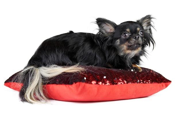 빨간 베개, 흰색 격리 된 배경에 장 발 치와와 강아지.