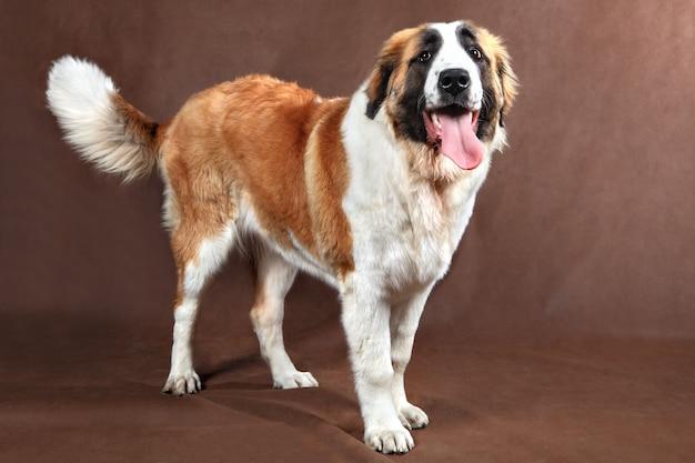 スタジオで写真のポーズをとる、長髪のセントバーナード犬。