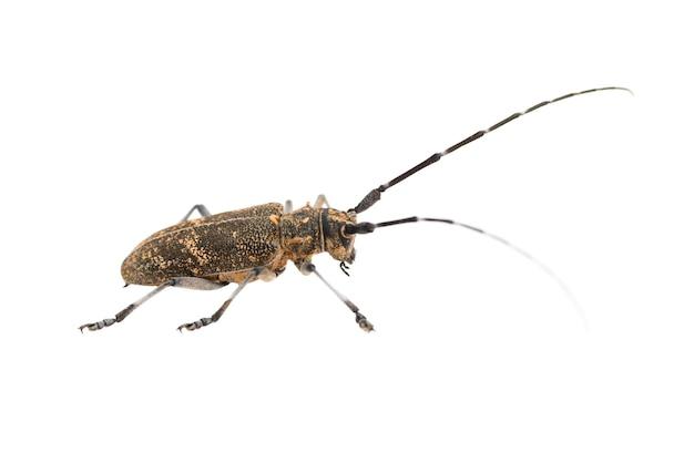 Longhorn 딱정벌레 또는 longicorn cerambycidae 흰색 배경에 고립