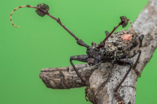 Longhorn жук на стволе