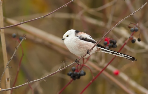 Longtailed tit sitting on a branch among berries on a cloudy day